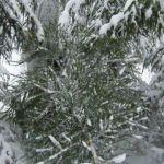 【フィンランドのクリスマスvol.1】クリスマスツリーは森で刈る